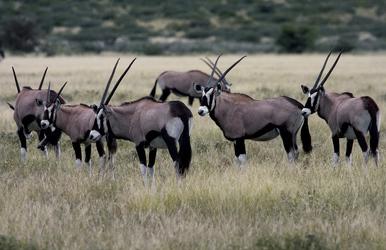 Oryx Herde im Kalahari Game Reserve