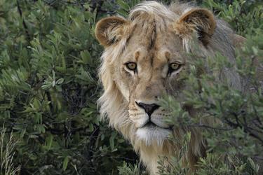 Löwe im Kalahari Game Reserve