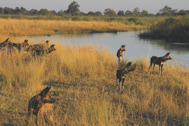 Jagende Wildehunde