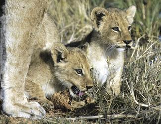 Löwenbabies