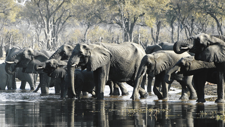 Elefanten im Moremi