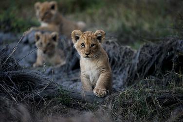 Löwennachwuchs im Okavango Delta