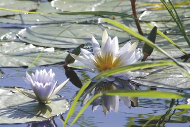 Blumen des Okavango Deltas