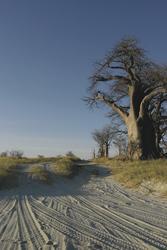 Baines Baobab Nxai Pans