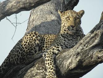 Leopard mit bester Aussicht