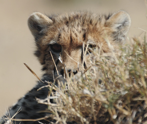 Neugieriges Gepardenjunges