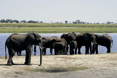 Elefantenherde Chobe Nationalpark