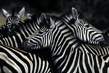 Zebrastreifen überall