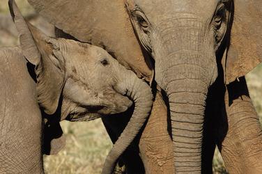 Elefantenmama und ihr Kleines