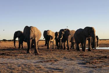 Elefantenherde in den Salzpfannen