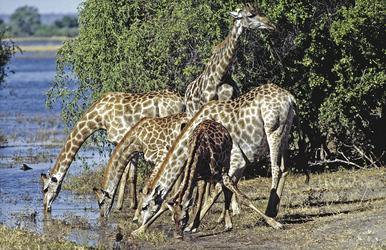Trinkende Giraffen am Chobe River