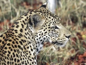 Schöner Schnappschuss eines Leoparden