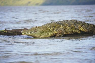 Krokodil am Chamosee, ©Thomas Thadewaldt, DIAMIR Erlebnisreisen