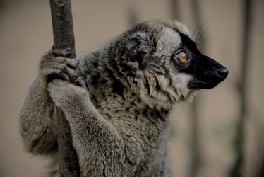 Neugieriger Lemur