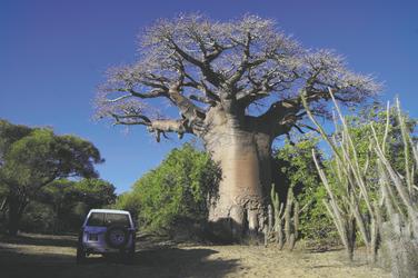Mächtiger Baobab-Baum