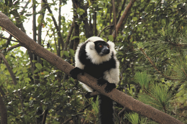 Lemuren gibt es überall