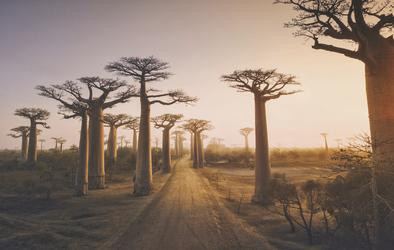 Herrliche Baobabbäume