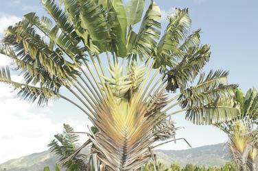 Ravinala Pflanze