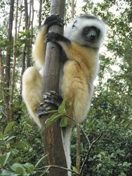 Lemuren gibt es vielfältig