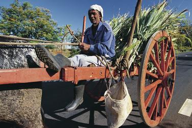 Zuckerrohr auf Mauritius