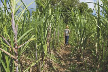 Zuckerrohrplantage, ©IRT/Emmanuel VIRIN