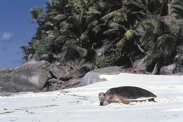 Schildkröte am Strand