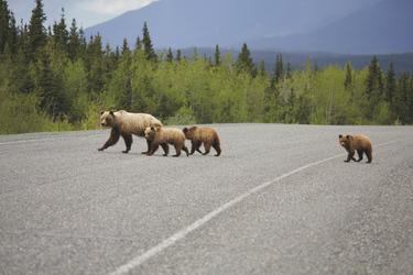 Bären überqueren den Alaska Highway, ©Bergold Promotions