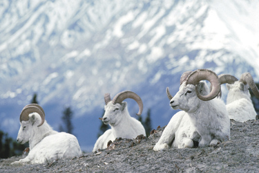 Dall-Schafe im Kluane Nationalpark, ©Government of Yukon