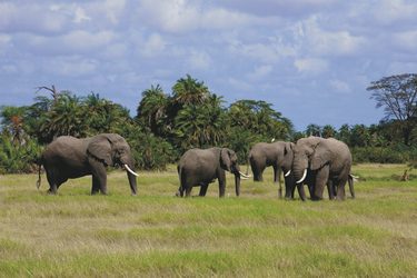 Im Amboseli Nationalpark
