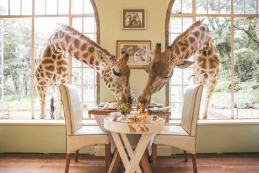 Frühstück mit Giraffen, ©Giraffe Manor