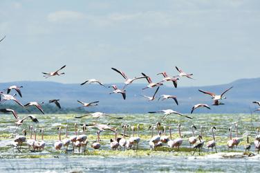 Flamingos am Lake Nakuru, ©Serena Hotels