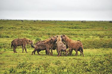 Hyänen mit ihrer Beute