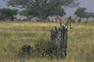 Ein Leopard überblickt sein Revier