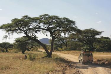 Eine große Akazie mit Webervogelnestern, ©Africa-Experience