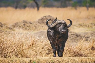 Madenhacker auf einem majestätischen Büffel, ©Africa-Experience