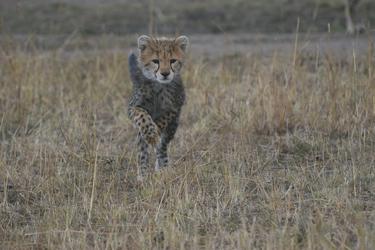 Ein junger Gepard übt die Jagd, ©Africa-Experience