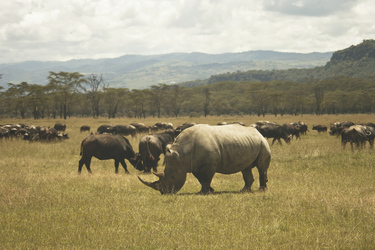 Nashorn und Büffel am Lake Nakuru