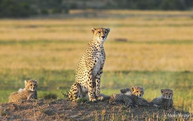 Gepardin mit Jungen in der Masai Mara
