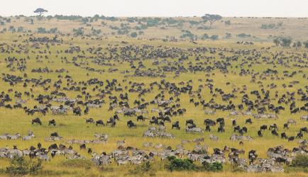 Die große Migration in der Masai Mara
