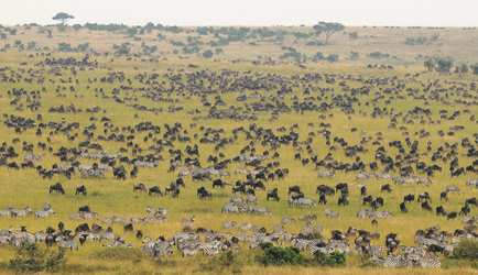 Die große Migration in der Masai Mara, ©Atua Enkop