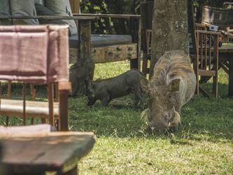 Warzenschweine sind hier wie zu Hause, ©Governors'