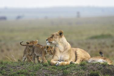 Safarimomente in der Masai Mara