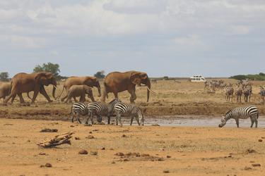Am Wasserloch im Tsavo NP