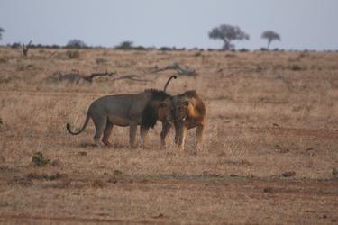 Begegnung im Tsavo