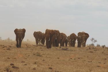 Elefantenherde im Tsavo