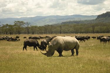 Nashorn im Lake Nakuru NP