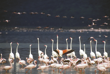 Flamingos im Lake Nakuru