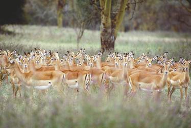 Impalas im Lake Nakuru NP