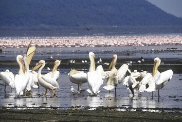 Pelikane am Lake Nakuru