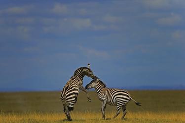 Spielende Zebras, ©Thorsten Milse
